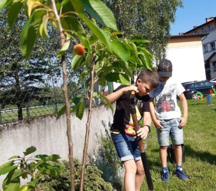 Tradycyjny sad Kleczańskich Czeresienek